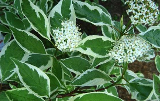 Декоративные растения: декоративный кустарник