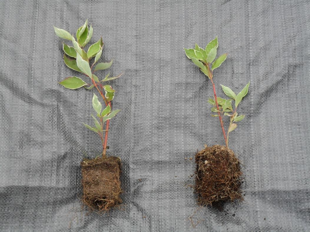 Декоративные растения: размножение дерена