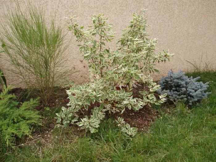 Декоративные растения: почва для дерена