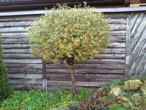 Декоративные растения: штамбовый дерен