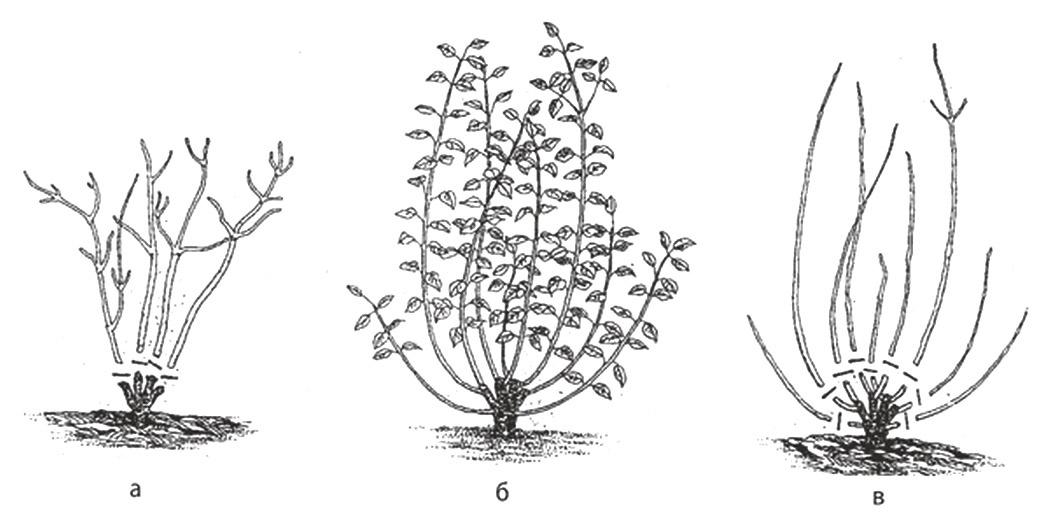 Декоративные растения: дерен