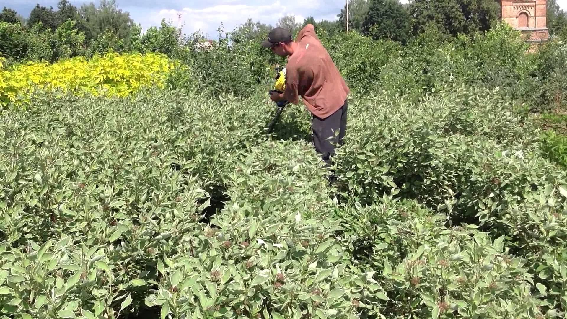 Декоративные растения: агротехника дерена