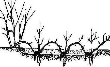Декоративные растения: отводки дерена