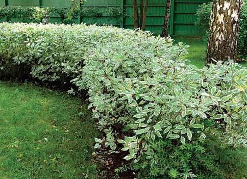 Декоративные растения: дерен декоративный