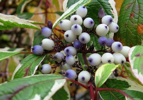 Декоративные растения: семена свидины