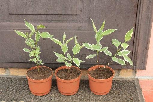 Декоративные растения: корневые отростки