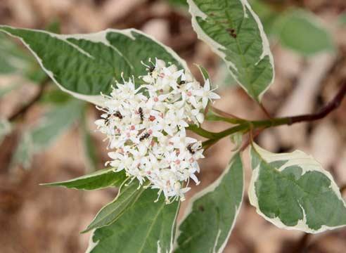 Декоративные растения: цветение дерена