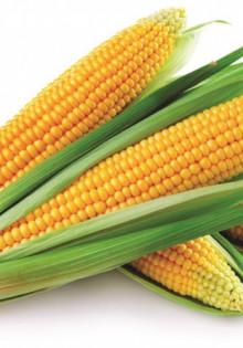 Кукуруза выращивание и уход на даче