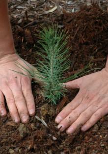 Саженцы деревьев и кустарников (декоративных и плодовых)