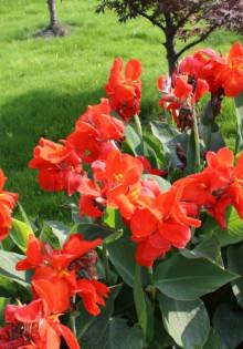 Как выглядит цветок канна
