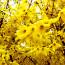 Сколько цветет форзиция