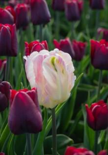 Сорта тюльпанов: фото и названия