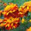 Цветы бархатцы: лечебные свойства и их использование в народной медицине