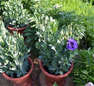 Уход и выращивание эустомы в домашних условиях из семян в горшках