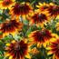 Цветы рудбекия: выращивание, посадка и уход