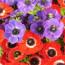 Цветок анемона — посадка и уход