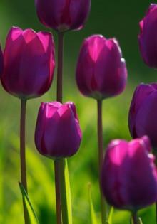 Выращивание тюльпанов на даче — в теплице и открытом грунте